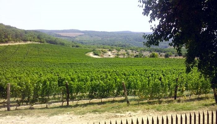 фото виноградники Павла Швеца