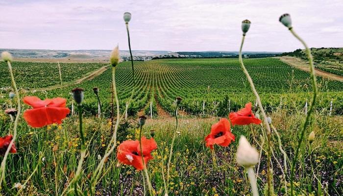 фото виноградники Усадьбы Перовских