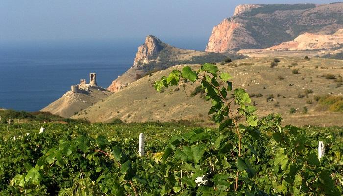 фото виноградники Золотая Балка