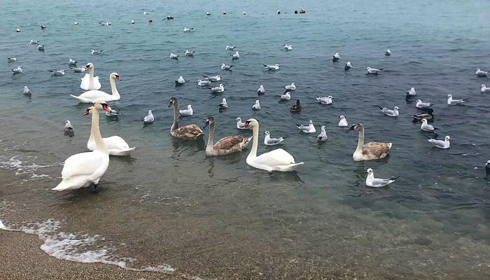Белые лебеди на пляже Феодосии