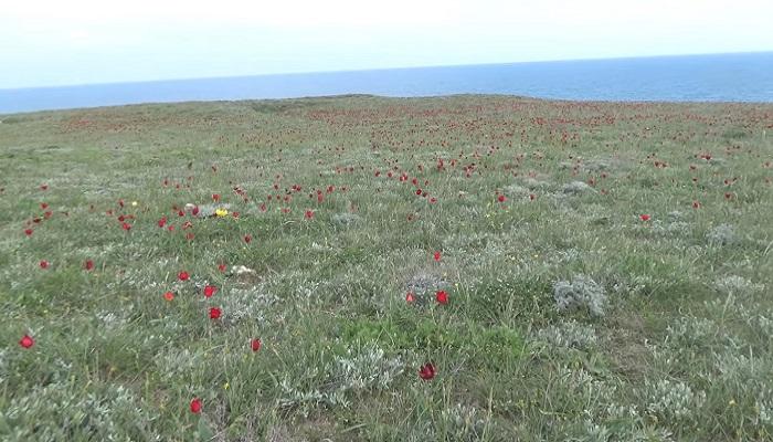 Фото Тюльпаны Шренка на Крымском полуострове