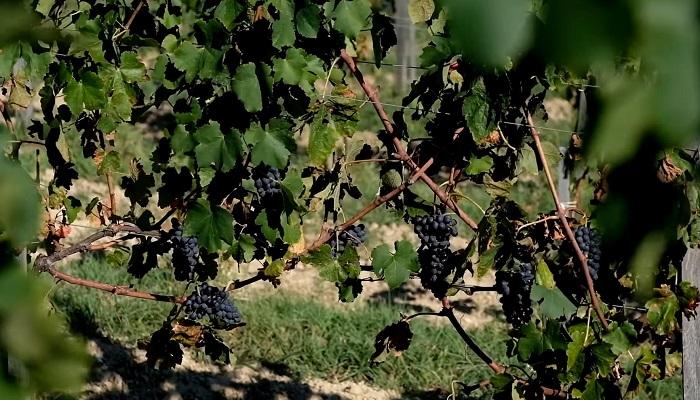 Виноград для вина Севастополь