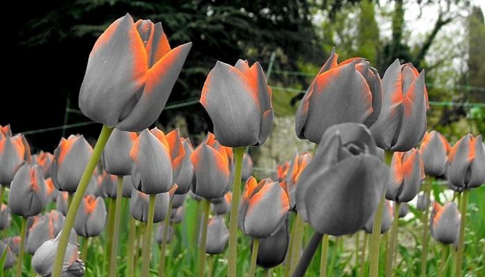 Тюльпаны Никитский ботсад в Ялте