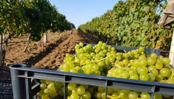 фото виноградники Валерия Захарьина