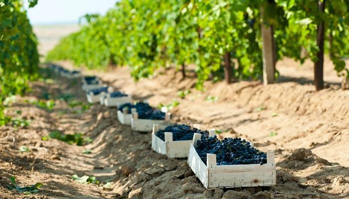 фото виноградники винзавода Золотое поле