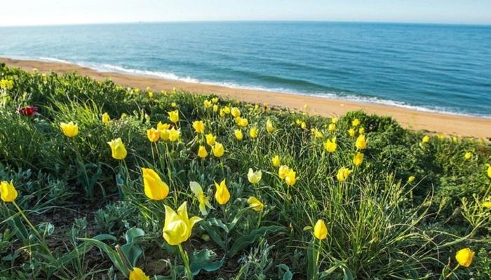 Фото Тюльпаны Казантипский природный заповедник