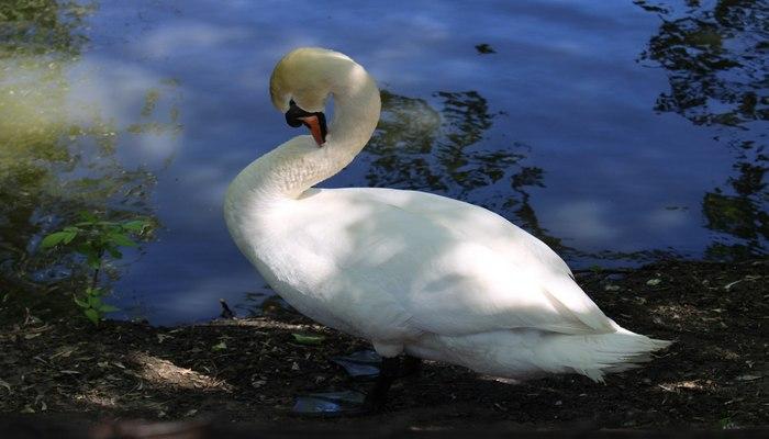 фото Лебеди-шипуны